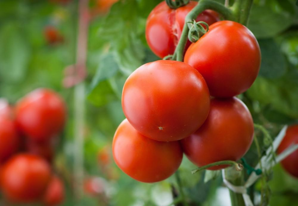 tomato-plants-with-large-red-tomatoes2